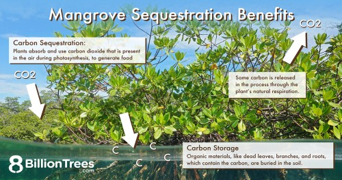 Photo of a Mangrove tree with text explaining trees sequester or remove carbon dioxide from the atmosphere during photosynthesis and then the carbon is stored in organic materials such as roots, branches, and dead leaves.