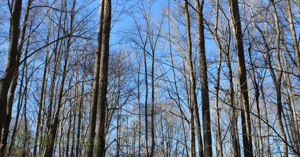 A photo of tall trees sequestering carbon in the woodlands of Tennessee after a cold winter