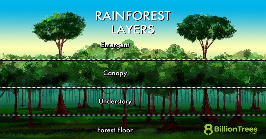 Graphic Image of the rainforest layers from top to bottom emergent, canopy, understory, forest floor