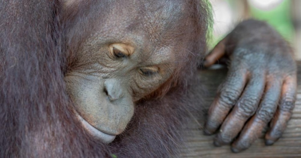 A sad looking Orangutan holds a branch while loggers, miners and forest fires continue to destroy their habitats
