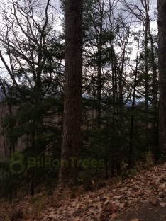 Solitary walk in the woodlands of the Great Smoky Mountains National Park, pine trees and peaceful privacy.