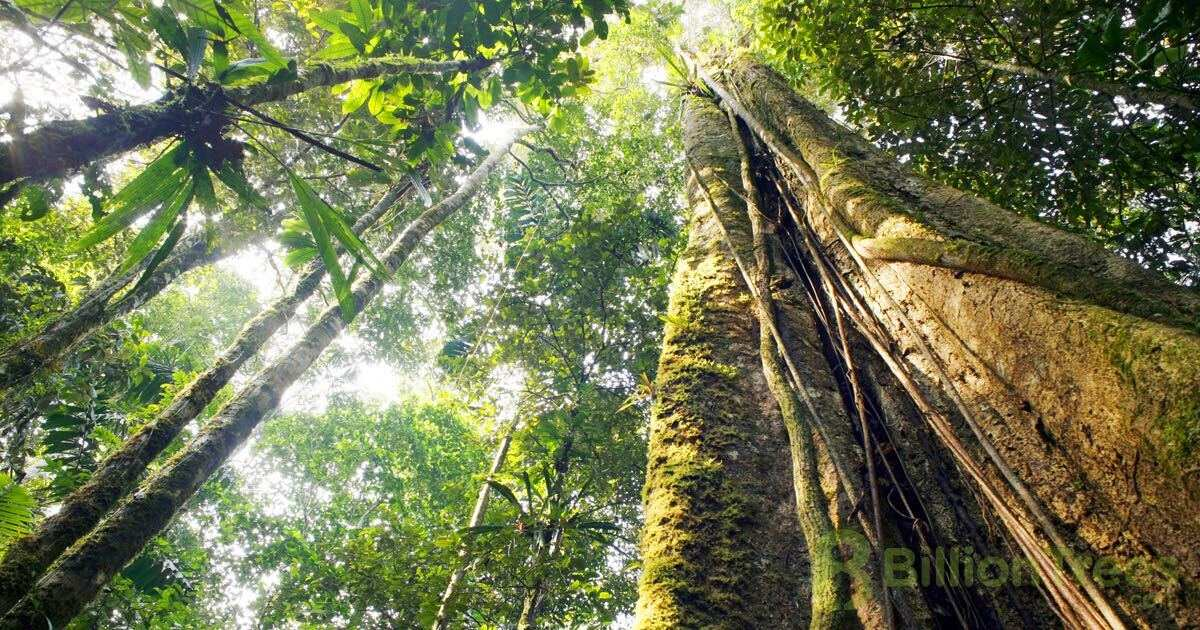 Looking up at the forest canopy in a dense rainforest