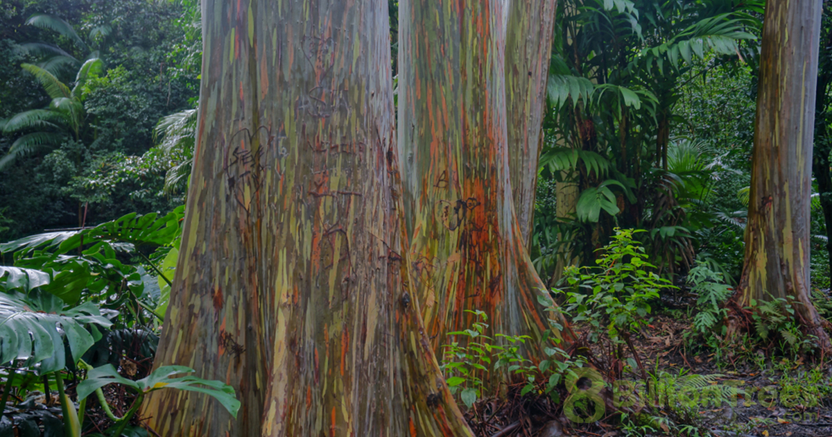 Painted Trees in Maui, Hawaii