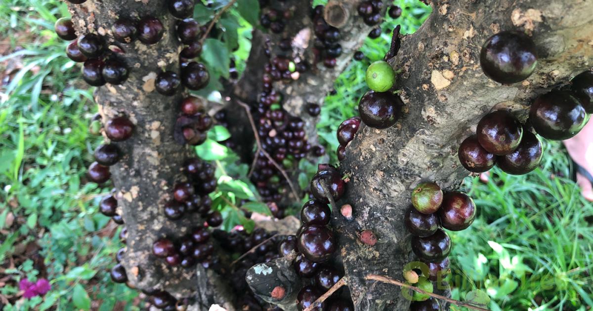 Brazilian grape tree jabuticaba closeup