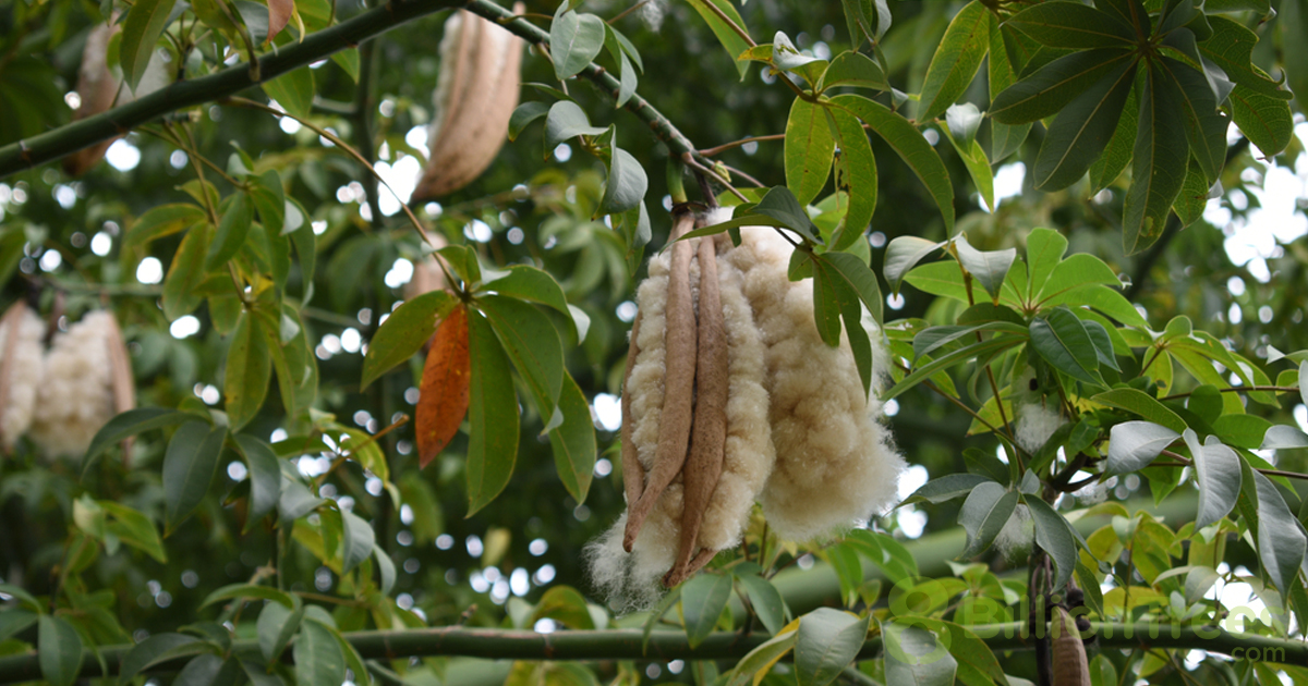 Kapok tree seeds surrounded by yellow to white fluffy fiber