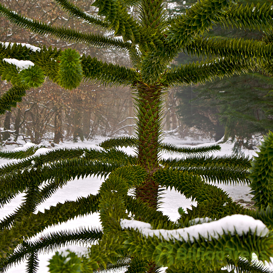 The Monkey Puzzle tree is an endangered weird tree that thrives after ecological upheavel.