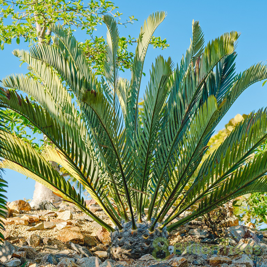 8 Billion Trees brand image of a rare and endangered small woods cycad tree covered in shade in the south african forest