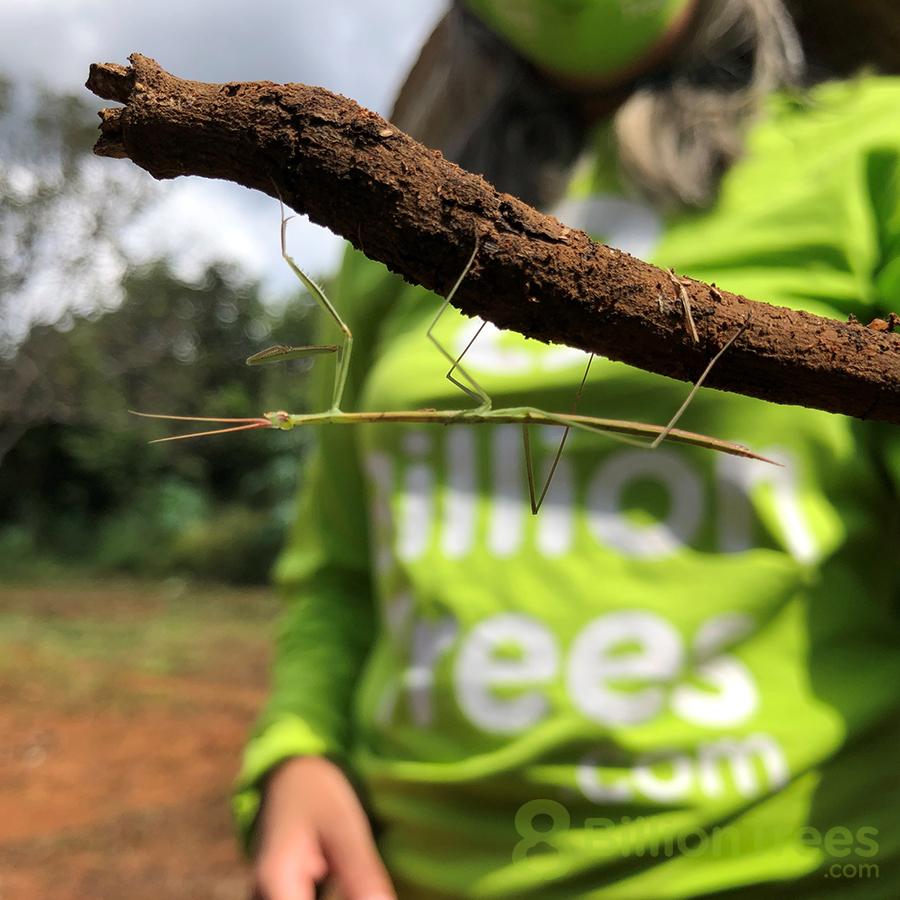 Walking stick in the Brazilian rainforest.