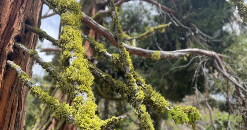 Close up of Sequoia tree mossy bark growth.