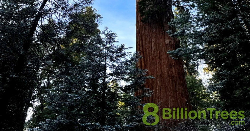 Trees next to a redwood tree trunk at Sequoia National Park, with an 8 Billion Trees watermark.