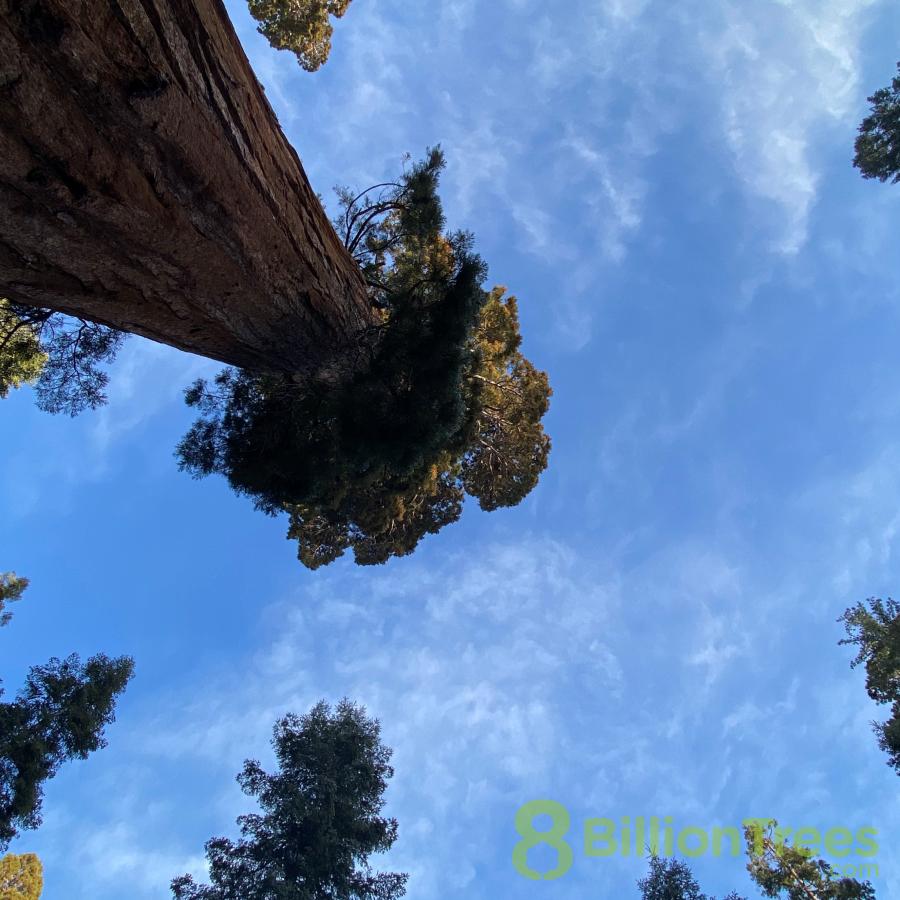 Giant sequoia trees in California.