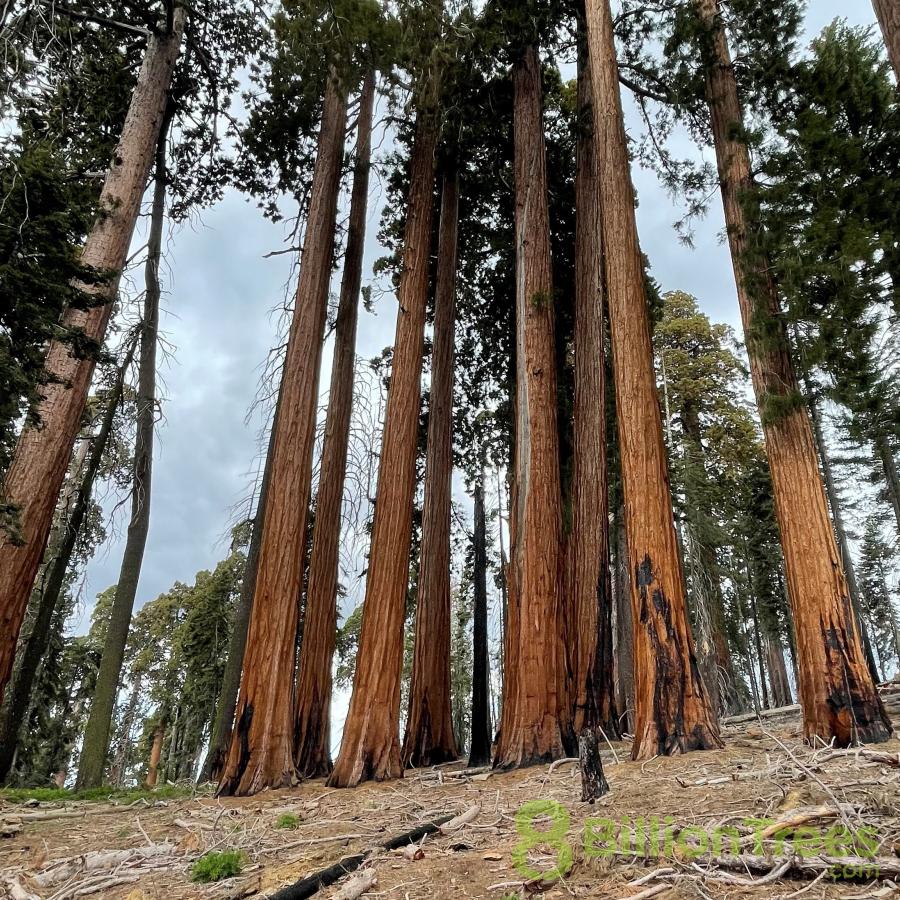 Redwood trees in California.