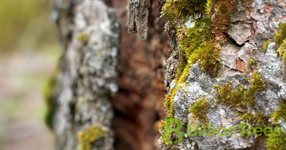 A close up of moss on a tree trunk in Sequoia National Park, with an 8 Billion Trees watermark.