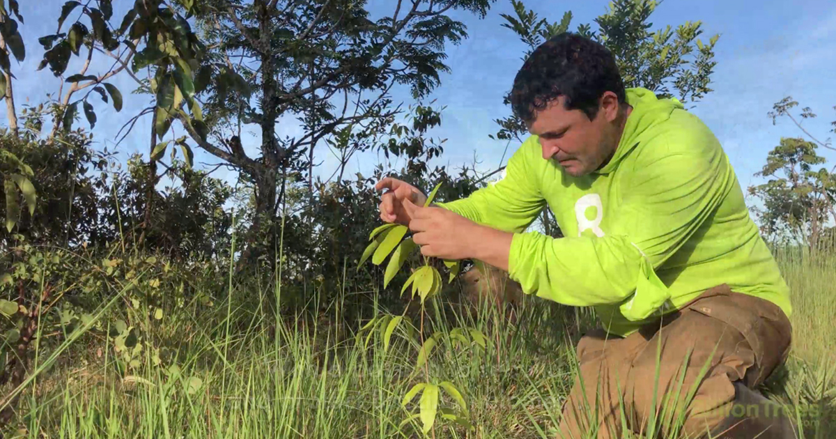 8 Billion Trees biologist examines planted saplings for healthy growth.