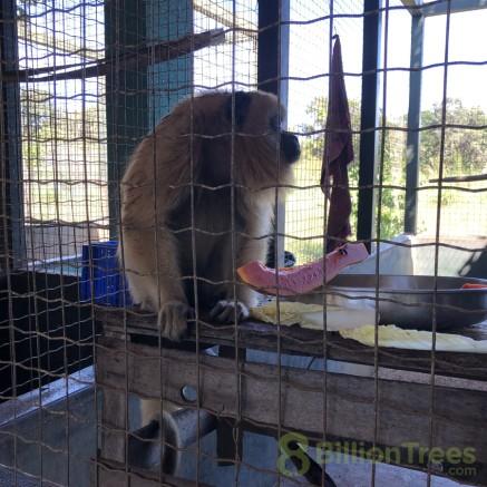 Howler Monkey eating fruit at Tocantins Fauna Center, Brazil.