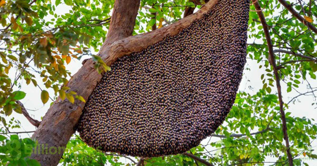 Beehives, like this giant one hanging from a branch, are intricate and organized, and they conserve resources by only using the space they need.