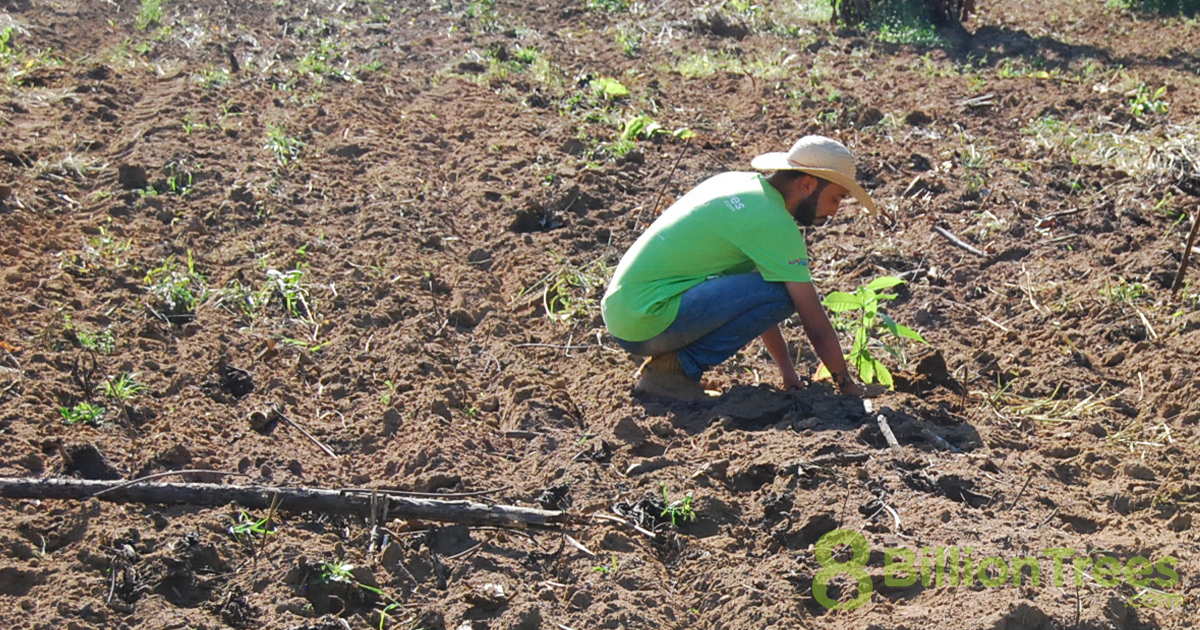 Native saplings being planted in Tocantins, Brazil.