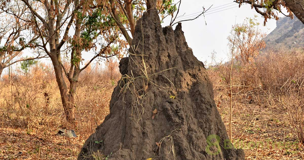 A giant African termite mound uses advanced venting to cool the chambers.