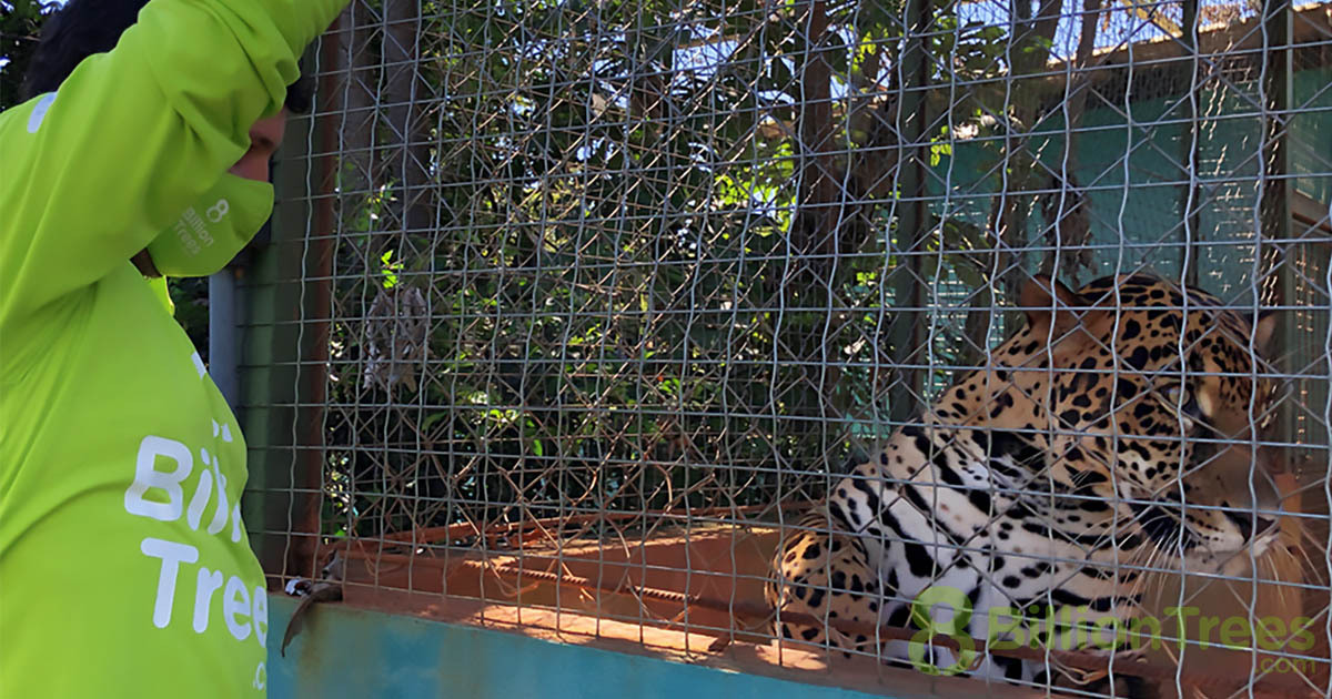 Cefau, the resident Jaguar at The Tocantins Fauna Center in Brazil, laying in his enclosure with a man in 8 Billion Trees branded clothing looking at him from outside.