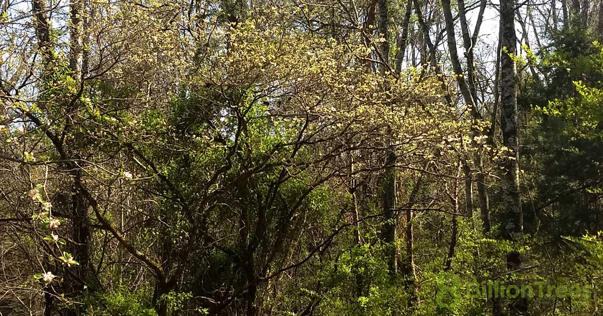 Dogwoods blooming in early spring in the Great Smoky Mountains National Park, Tennessee.