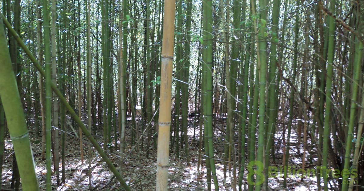 A view inside a bamboo forest with one dead bamboo trunk in the middle and an 8 Billion Trees watermark