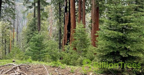 Trees in Sequoia National park with ground in front and an 8 Billion Trees watermark