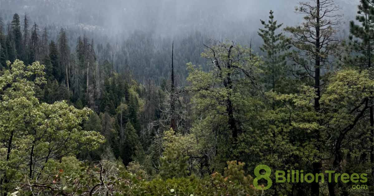 A misty forest scene with the tops of deciduous trees in the foreground and an 8 Billion Trees watermark